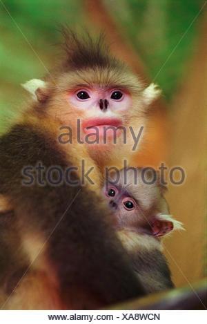 Chinese snub nosed monkey female with baby, China {Pygathrix roxellana} Yunnan - Stock Photo