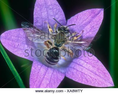 Grauschuppige Sandbiene (Andrena pandellei), Weibchen auf Glockenblumen-Bluete (Campanula spec.), Deutschland | Mining bee (Andr - Stock Photo