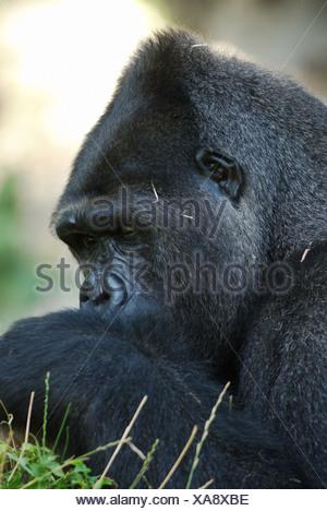 Male, Western Lowland Gorilla (Gorilla gorilla gorilla) - Stock Photo