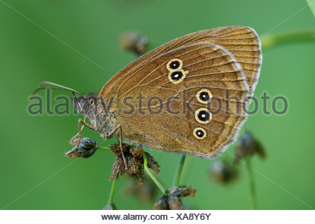 ringlet on blade of grass / Aphantopus hyperantus - Stock Photo
