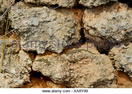 Moroccan rock lizard, Menorca wall lizard (Podarcis perspicillata, Lacerta perspicillata, Teira perspicillata, Scelarcis perspicillata  ), two Menorca wall lizards on a natural stone wall, Spain, Balearen, Menorca - Stock Photo