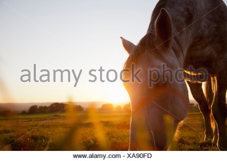 Hose grazing in rural field - Stock Photo