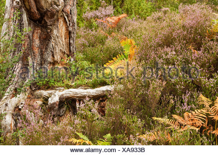 Close up heather and bracken at base of tree on forest floor in caledonian pine forest at Loch an Eilein, Cairngorms National Pa - Stock Photo