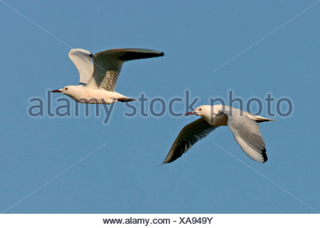 slender-billed gull (Larus genei), two individuals flying, Europe - Stock Photo