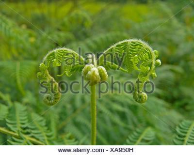 Licorice Fern, Polypodium glycyrrhiza - Stock Photo