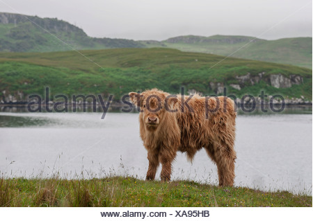 Scottish Highland Cattle, calf, standing on a pasture by the sea, Dunvegan, Isle of Skye, Inner Hebrides, Scotland - Stock Photo