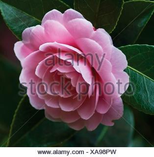 Camellia x williamsii 'Monica Dance', Single pink flower growing on a shrub. - Stock Photo