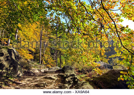 beech forest in autumn in Saxonian Switzerland, Germany, Saxony, Saxon Switzerland National Park - Stock Photo