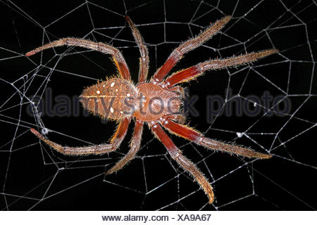 Radnetzspinne, Radnetz-Spinne, Eriophora fuliginea (Eriophora fuliginea), in ihrem Netz, Costa Rica | ord-weaving spider (Erioph - Stock Photo