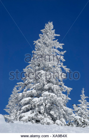 Snow-covered spruces in the mountains, Wendelstein Mountains, Bavaria - Stock Photo