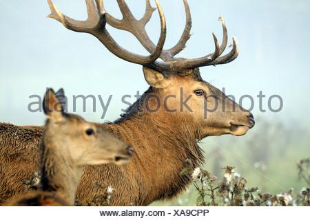 red deer (Cervus elaphus), hart and hind, Germany, Bavaria - Stock Photo