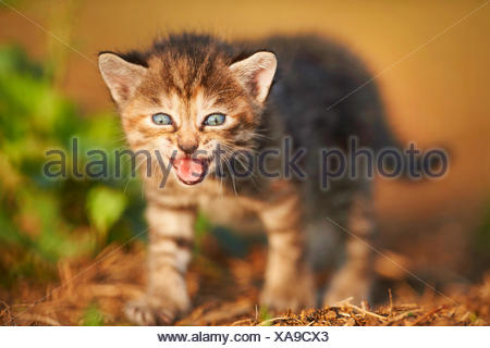domestic cat, house cat (Felis silvestris f. catus), five weeks old miaowing kitten , Germany - Stock Photo