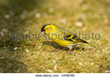 Eurasian Siskin (Carduelis spinus), Hesse, Germany - Stock Photo