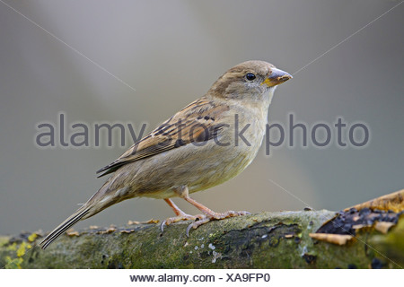 House Sparrow (Passer domesticus), female, Lower Saxony, Germany - Stock Photo