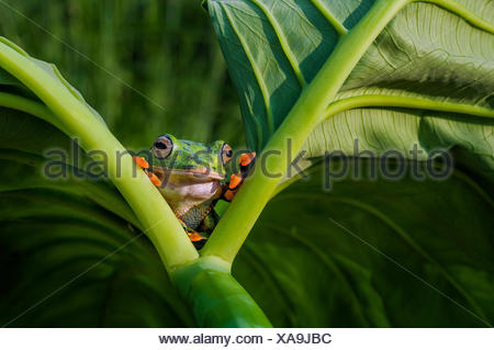 Frog looking out from between two leaves - Stock Photo