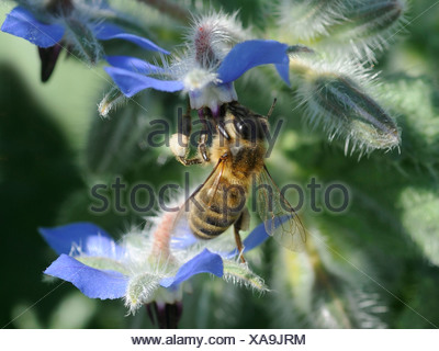 A wasp looking for nectar on a borage flower, on a borage plant - Stock Photo