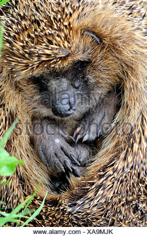 Hedgehog, bristling, Erinaceus europaeus, Common hedgehog, European, summer, Rolled up, animal, animals, Germany, Europe, - Stock Photo