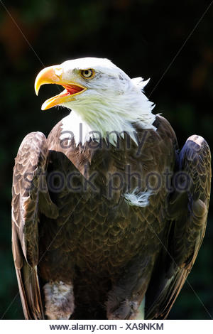 weisskopfseeadler - Stock Photo