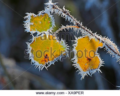 European aspen (Populus tremula), autumn leaves with hoar frost in backlight, Germany, Baden-Wuerttemberg - Stock Photo