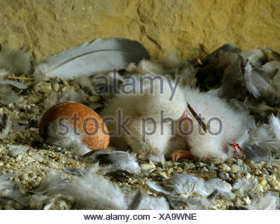 peregrine falcon (Falco peregrinus), few days old chick and egg in the nest, Germany, Baden-Wuerttemberg - Stock Photo