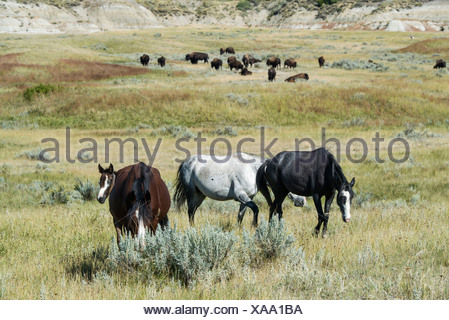 Bison buffalo wild horses Theodore Roosevelt National Park North Dakota USA United States America horse wild prairie free - Stock Photo