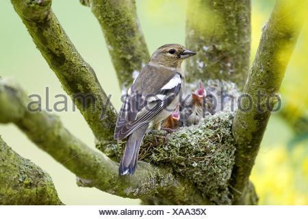 chaffinch nest - Stock Photo
