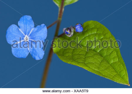 Navelwort, Blue-eyed Mary (Omphalodes verna), blooming - Stock Photo