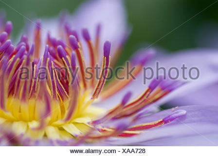 Tropical waterlily, Blue Pigmy (Nymphaea colorata), detail of a flower, stamina - Stock Photo