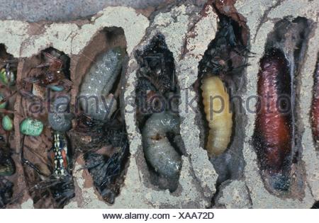 mud dauber (Sceliphron (destillatorium)), opened nest with larvae, pupas and captured spiders - Stock Photo