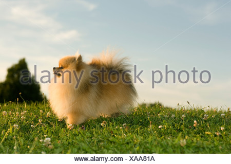 tiny dog standing on meadow - Stock Photo