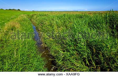 reed grass, common reed (Phragmites communis, Phragmites australis), salt meadows with drainage ditch, Germany, Lower Saxony Wadden Sea National Park, Spieka Neufeld - Stock Photo