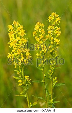 goldenrod, golden rod (Solidago virgaurea), blooming, Germany - Stock Photo