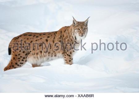 Eurasian Lynx (Lynx lynx) standing in the snow, animal enclosure, Bavarian Forest National Park, Bavaria, Germany - Stock Photo