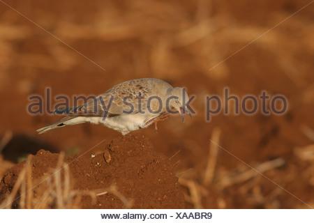Turtle Dove Streptopelia turtur Israel summer 2007 - Stock Photo