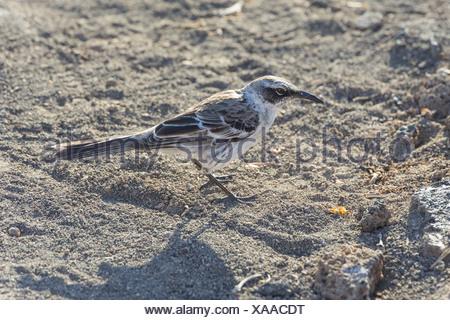 Galápagos Mockingbird (Mimus parvulus), Isla Genovesa, Galápagos Islands - Stock Photo