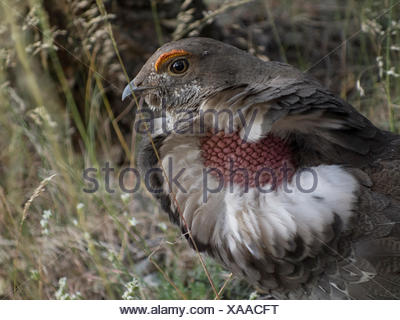 A dusky grouse, Dendragapus obscurus, in Wyoming's Greater Yellowstone Ecosystem. - Stock Photo