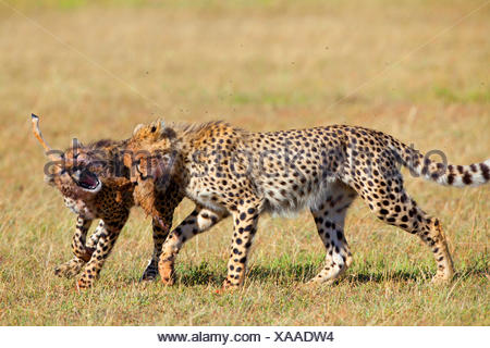cheetah (Acinonyx jubatus), two cheetahs fighting for a piece of prey, Kenya, Masai Mara National Park - Stock Photo