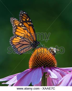 Monarch Butterfly and Honey Bee on a purple cone flower - Stock Photo
