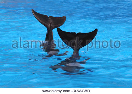 Bottlenose dolphin, tail fins, - Stock Photo