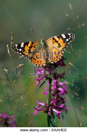 Painted lady butterfly (Cynthia cardui) resting on Bugle flower (Ajuga sp) with wings open, UK - Stock Photo
