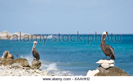 Brown pelicans perching on rock at beach - Stock Photo
