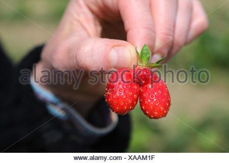 Werl, Germany, mutant strawberry - Stock Photo