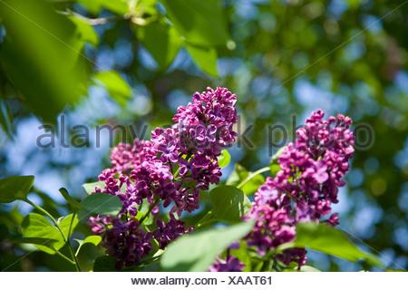 Purple lilac (syringa hyacinthiflora) at Fairhaven woodland in spring. - Stock Photo