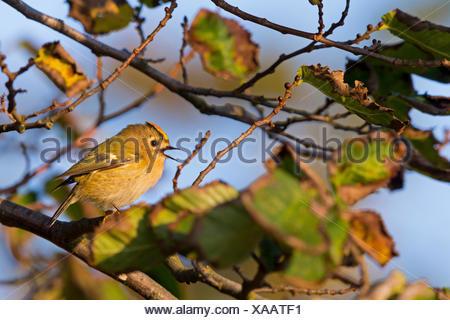 goldcrest (Regulus regulus), male sits on a twig singing, Switzerland, Valais - Stock Photo
