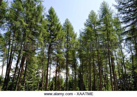 Italy, Balsegna di Pina, Pine tree forest - Stock Photo