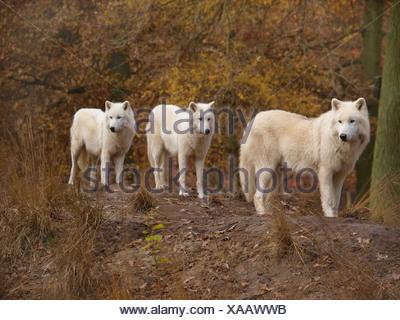 arctic wolf, tundra wolf (Canis lupus albus), three individuals - Stock Photo