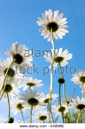 Worm's eye view of Ox-eye daisies shot in early summer against a clear blue sky - Stock Photo
