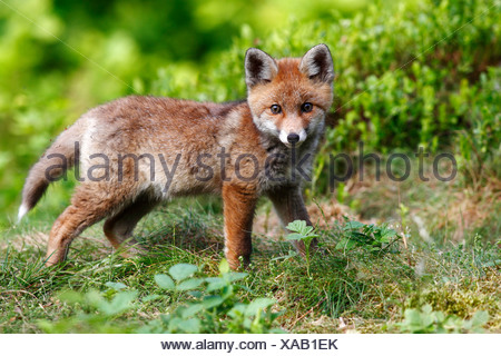 Red fox (Vulpes vulpes), watchful cub standing in a meadow - Stock Photo
