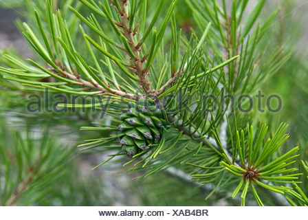 lacebark pine (Pinus bungeana), branch with young cone - Stock Photo