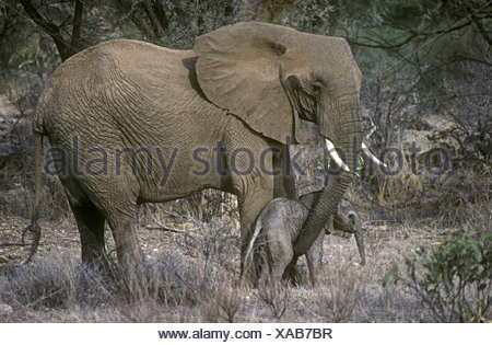Mother elephant reassuring new born baby elephant calf only few hours old by touching with trunk Samburu National Reserve Kenya - Stock Photo